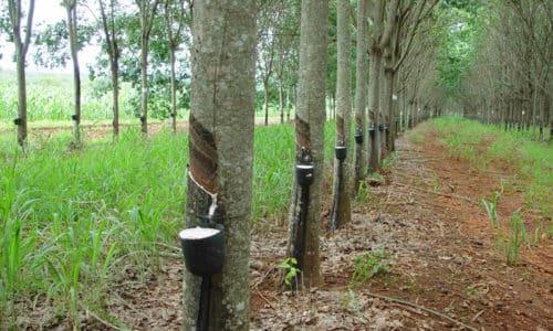 Латекс производится из сока бразильской гевеи
