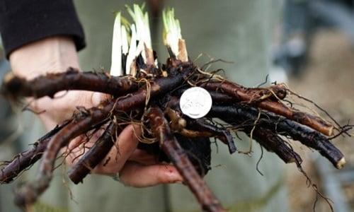 Настой для внутреннего употребления готовят из сухого корня окопника